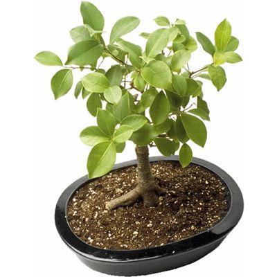 bonsai_tree.jpg