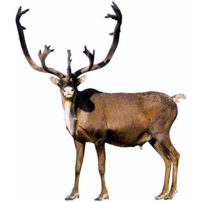 reindeer.jpg